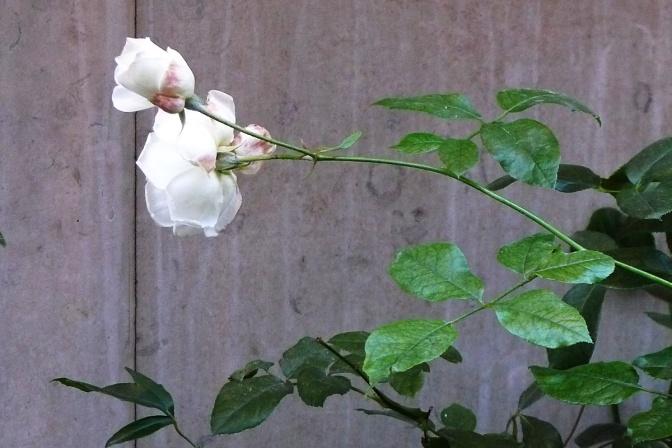 WHITEbIRD rose bud